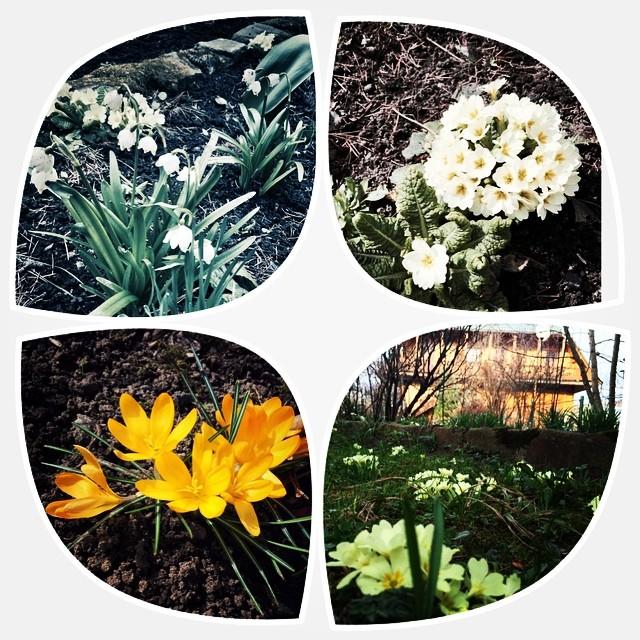 Перші весняні квіти у #готельуЯрослава#
